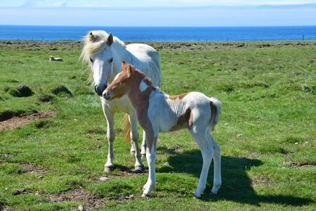 Icelandic gray mare with its cute pinto foal, touching each other at their nostrils.