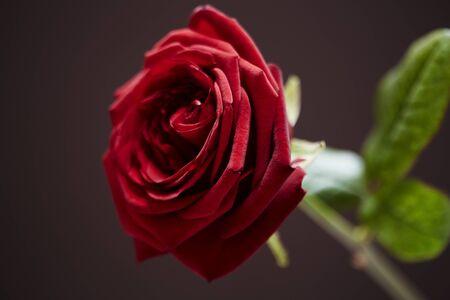 fondo cafe: Primer plano de la rosa roja sobre fondo marr�n Foto de archivo