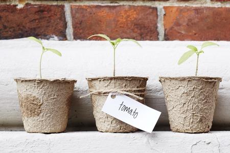 western script: Tomato seedlings growing in pots