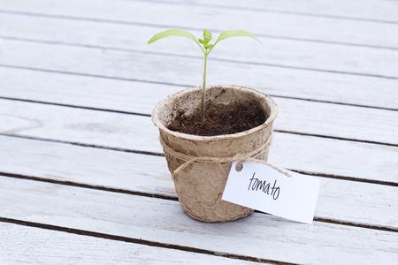western script: Tomato seedling growing in pot