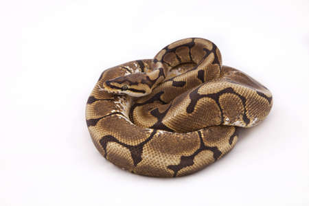 Spider morph Ball or Royal python on white background