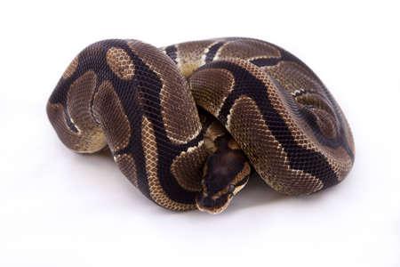 Ball or Royal python on white background