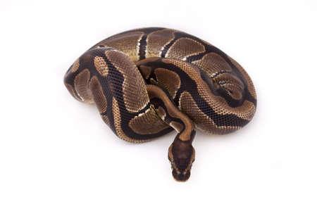 Ball or Royal python on white background Stock Photo - 9723055