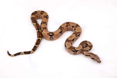 coldblooded: Boa constrictor on white background Stock Photo