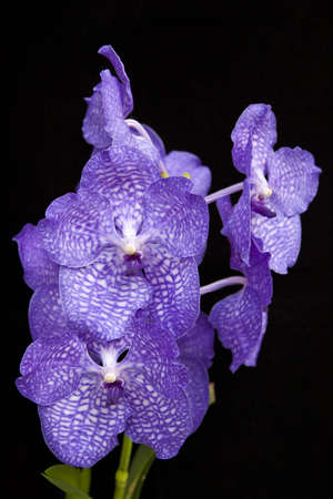 Purple orchid on black background