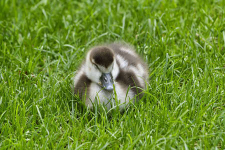 Baby Egyptian goose on grass