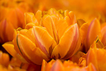 Orange tulips in a field Stock Photo