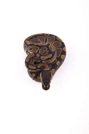 Baby Ball or Royal Python on white background Stock Photo - 9983136