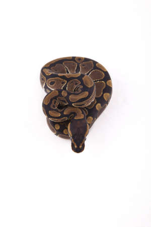 Baby Ball or Royal Python on white background Stock Photo - 9983136