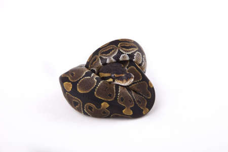 Baby Ball or Royal Python on white background Stock Photo - 9983141