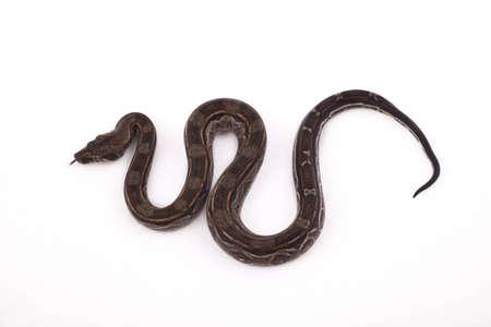 Baby Sonoran Desert Boa constrictor on white background photo