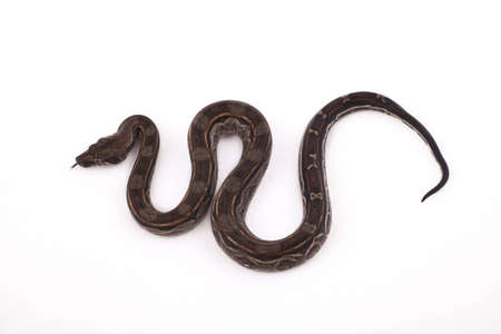 constrictor: Baby Sonoran Desert Boa constrictor on white background