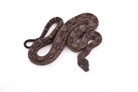 Baby Sonoran Desert Boa constrictor on white background