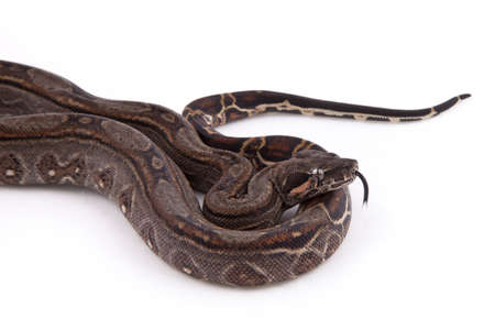 Baby Sonoran Desert Boa constrictor, on white background Stock Photo - 10113034