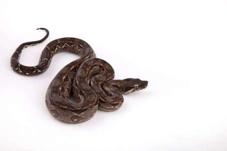 Baby Sonoran Desert Boa constrictor, on white background Stock Photo