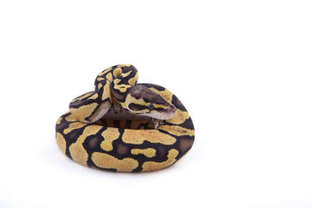 Baby Ball or Royal Python, on white background. Firefly morph.