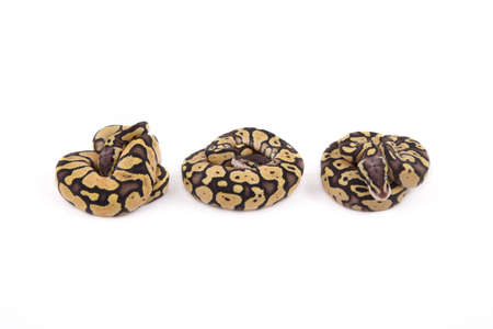pythons: Three baby Ball or Royal Pythons, Firefly morph, in a row on white background Stock Photo