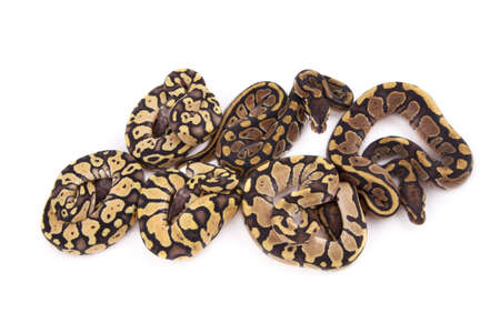 pythons: Baby Ball or Royal Pythons, Firefly, Fire and Pastel morphs, on white background Stock Photo