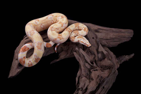 Albino Boa constrictor on a piece of wood, on a black background Stock Photo