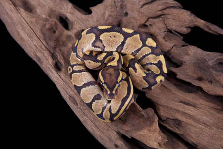 regius: Baby Ball or Royal Python, Fire morph, on a piece of wood, on a black background Stock Photo