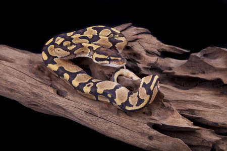 Baby Ball or Royal Python, Fire morph, on a piece of wood, on a black background Stock Photo