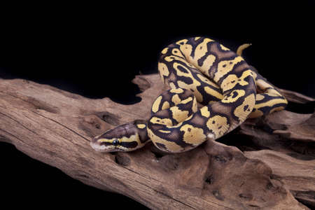 Baby Ball or Royal Python, Firefly morph, on a piece of wood, on a black background Stock Photo - 10252247