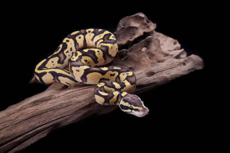 Baby Ball or Royal Python, Firefly morph, on a piece of wood, on a black background Stock Photo - 10252246