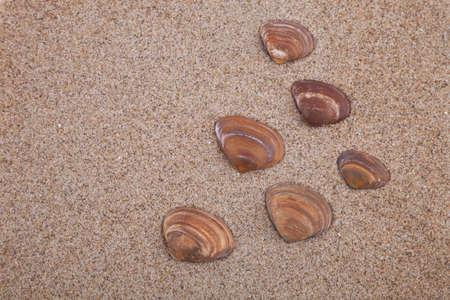 Brown sea shells on sand, shells found on a Dutch beach