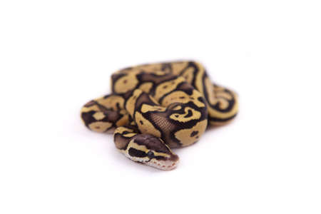 Baby Ball or Royal Python, Firefly morph, on a white background Stock Photo - 10595205