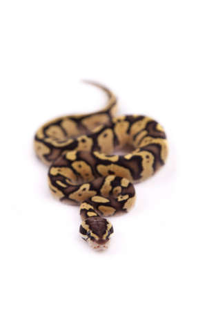 Baby Ball or Royal Python, Firefly morph, on a white background Stock Photo - 10595209
