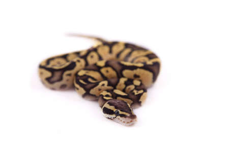 Baby Ball or Royal Python, Firefly morph, on a white background Stock Photo - 10595207