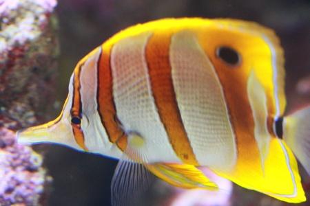 buttterfly fish 版權商用圖片 - 20532913