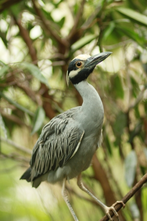 yellow-crowned night heron Banco de Imagens