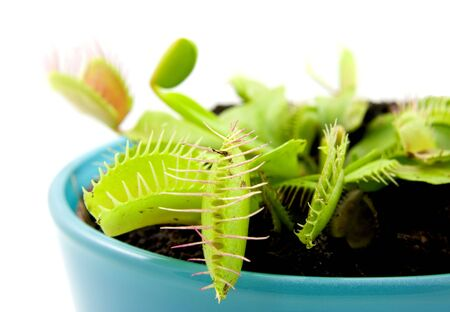 Blue pot with Dionaea, flytrap, isolated on white background photo
