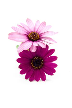 pink daisy: pink daisy  isolated on white background