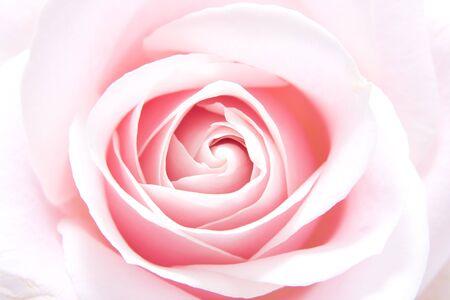 beautiful pink rose in closeup