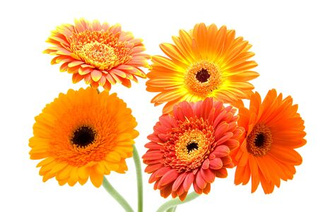 Bouquet of orange Gerbera flowers over white background photo
