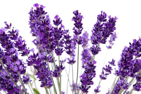 macro view of lavender over white background Stock Photo