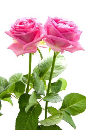 Dos hermosas rosas de color rosa sobre fondo blanco aisladas Foto de archivo