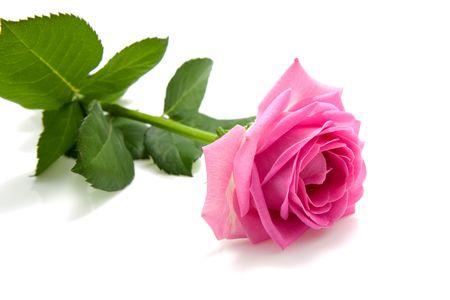One single pink rose isolated on white background