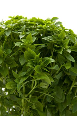 Plant of fine basil in closeup isolated on white background Stock Photo - 5360565