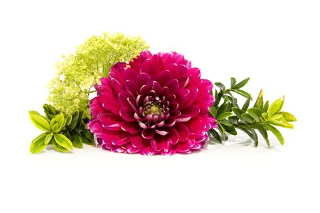 dahlia flower: Pink dahlia in closeup with plants isolated on white background