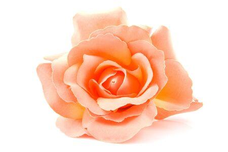 counterfeiting: One silk orange roses isolated on white background