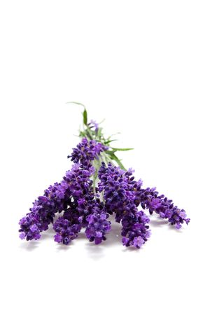 plucked: plucked lavender isolated on white background