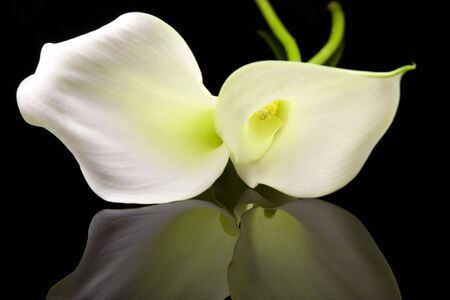 Beautiful white Calla lillies with mirroring over black background
