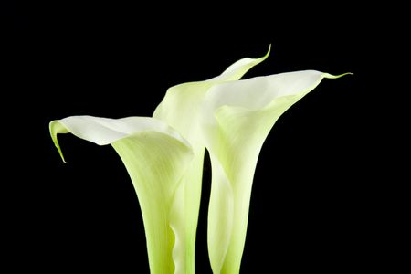 White Calla flowers in closeup over black background photo