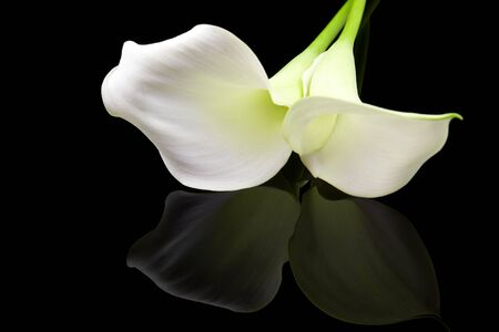 Beautiful white Calla lily with mirroring over black background photo