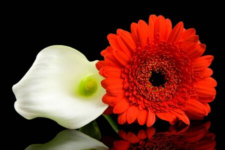 White Calla and red Gerber flowers with mirroring over black background Stock Photo - 5786285
