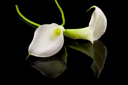 mourn: bella bianco Calla lilly su sfondo nero