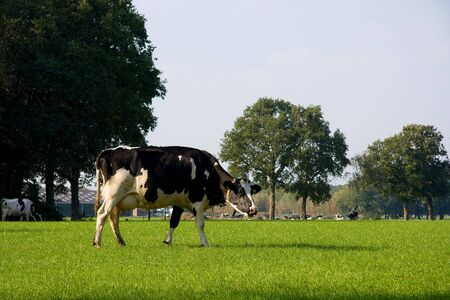 gramma: Dutch cow in grassland on sunny day Stock Photo